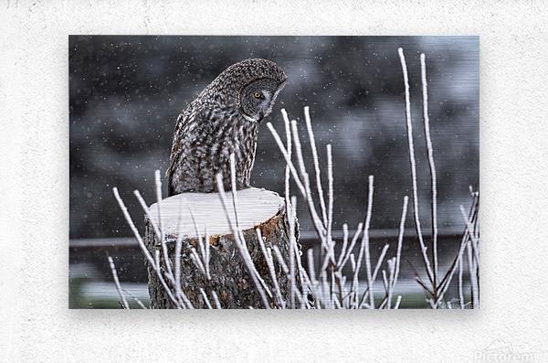 Great Grey Owl - Hunting at sunset.   Alberta Canada  Metal print