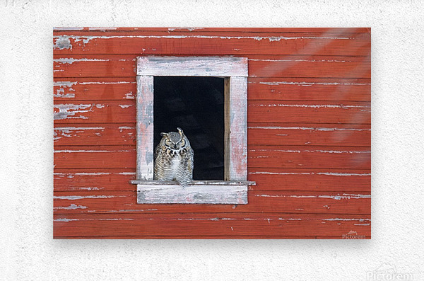 Great Horned Owl - Red Barn  Metal print