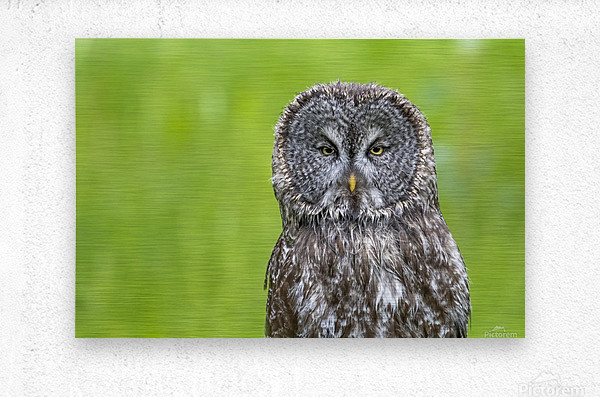 Great Grey Owl - Grey on Green  Metal print