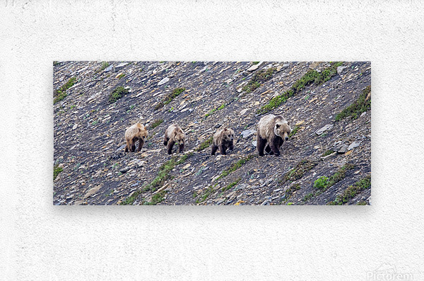 Grizzly Bear Family - Walk this way.  Kananaskis Country Alberta. Canada  Metal print