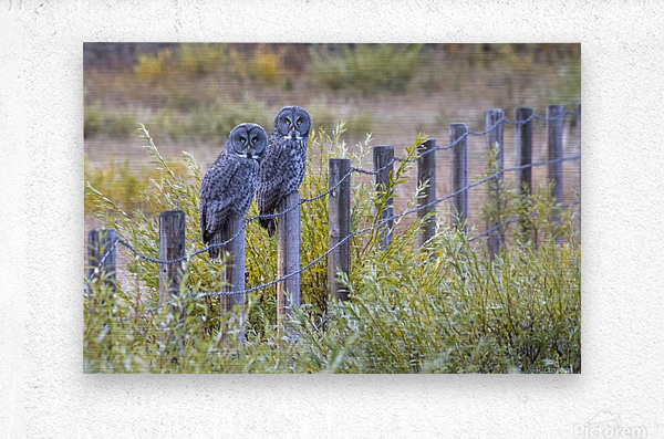 Seeing double - Great Grey Owl  Metal print