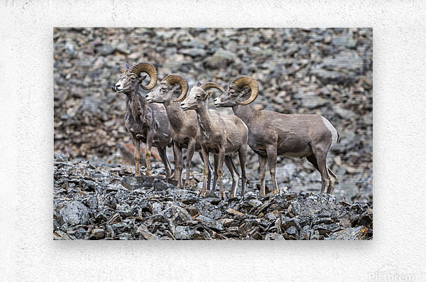 Big Horn Sheep - Family Portrait  Metal print