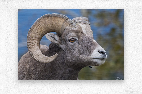 Big Horn Sheep - Portrait  Metal print