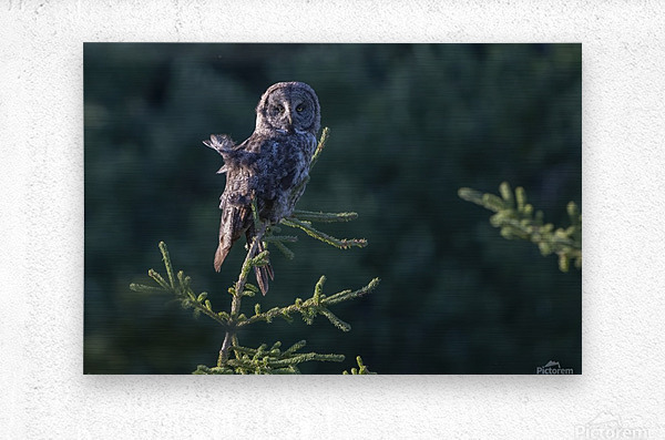 Great Grey Owl - Tree Top Hunting  Metal print