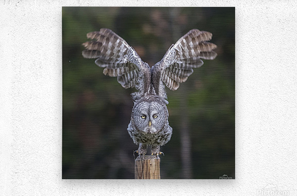 Great Grey Owl - Cleared for Take Off  Metal print