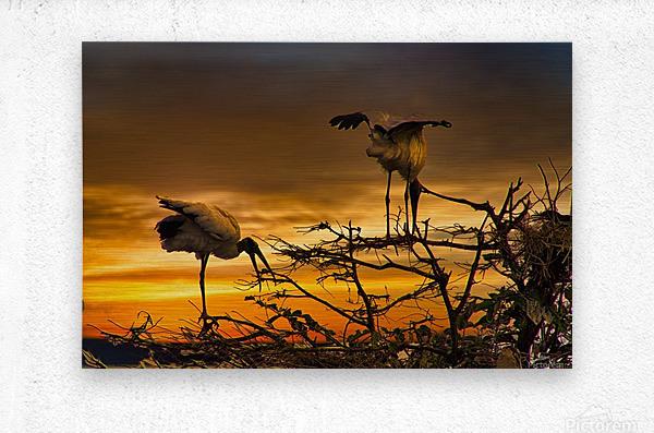 Wood Storks at Sunset  Metal print