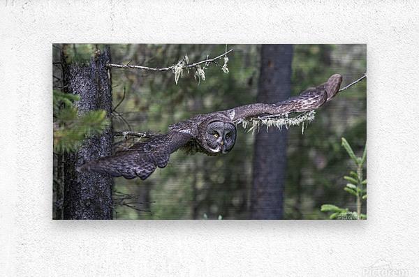 Great Grey Owl - Wing Span  Metal print
