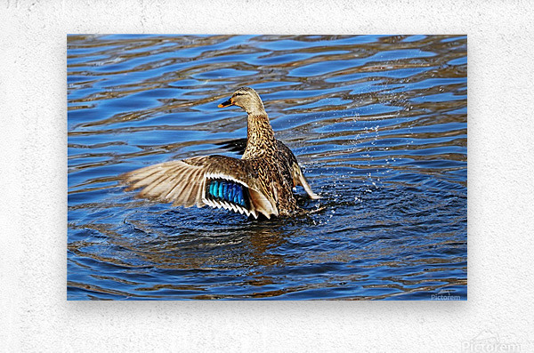 Flaunting The Blues  Metal print