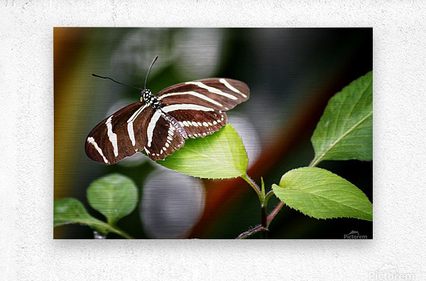 Stripped Butterfly  Metal print