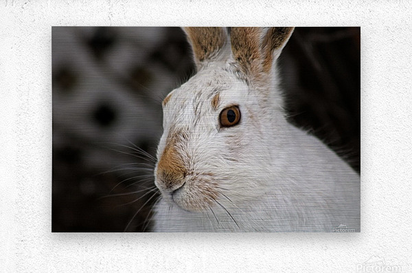 Mr Rabbit  Metal print