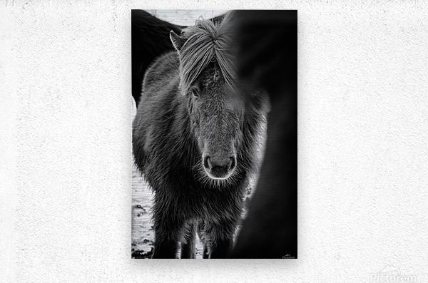 Icelandic Foal  Metal print
