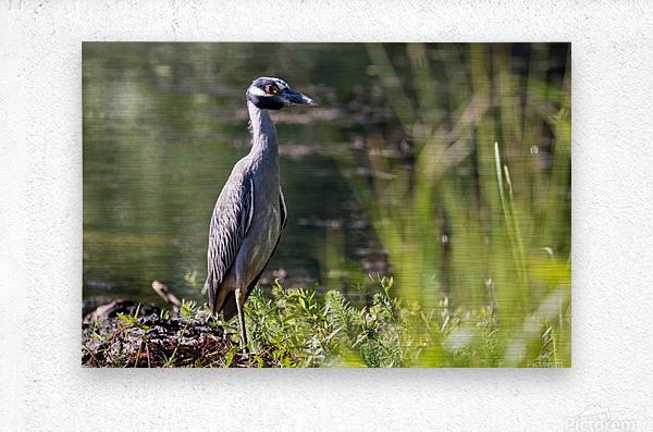 Yellow crowned Night Heron at Brick Pond Park 4690  Metal print