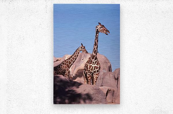 Giraffe Photograph  Metal print