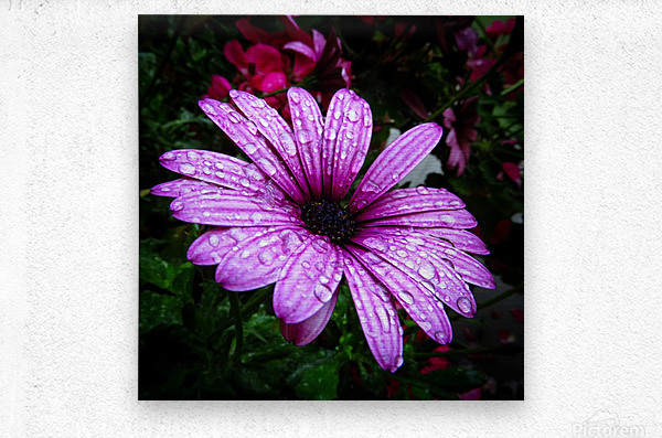 Violet flower with raindrops  Metal print