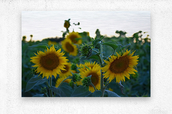 Sunflower Family  Metal print