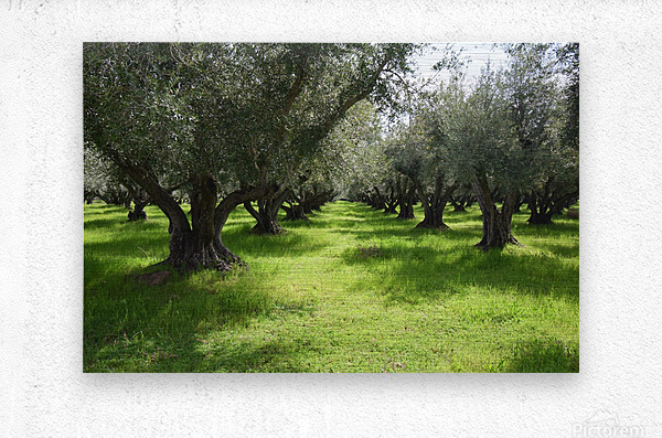 Olive Orchard In Spring  Metal print