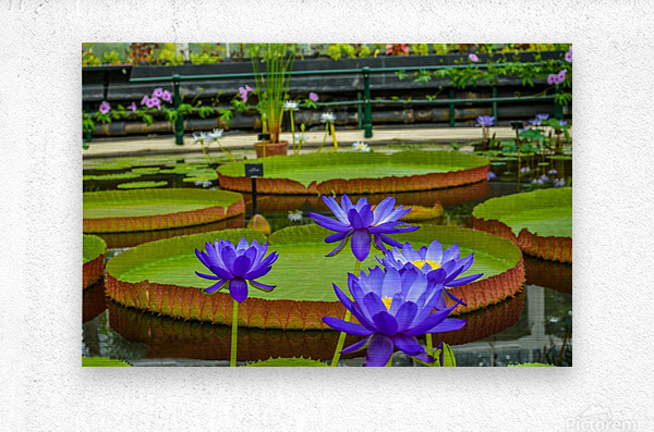 Purple water lily in a pond  Metal print