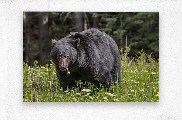 Black Bear With Dandelion  Metal print