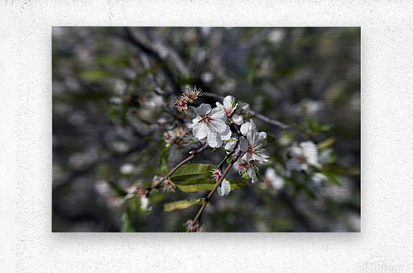 Flowering almonds 2  Metal print