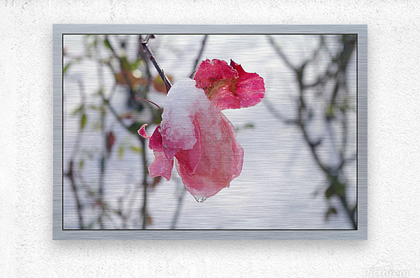Roses in the snow  Metal print