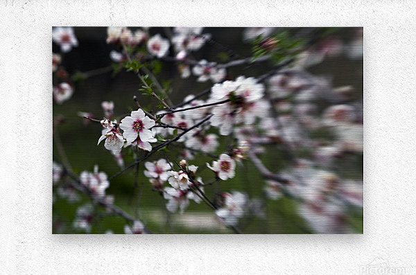 Flowering almonds 1  Metal print