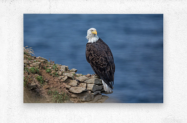 Perched and Proud  Metal print