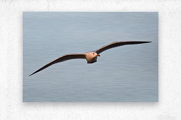 Fly like a Seagull  Metal print