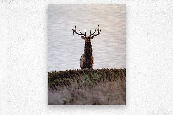 Tule Elk On Top Of A Hill  Metal print