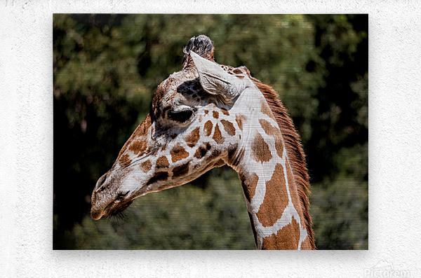Profile of a Giraffe  Metal print