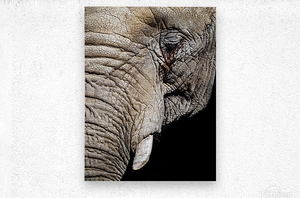 Elephant Close Up  Metal print