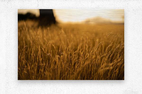 Golden Hour Field  Metal print