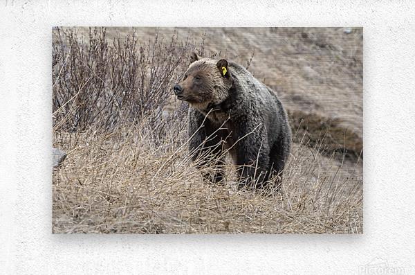 6897 - Grizzly Bear 2160  Metal print