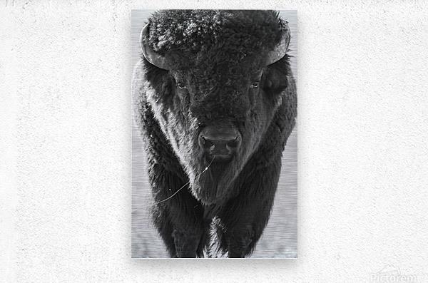 7893 - Buffalo  Metal print