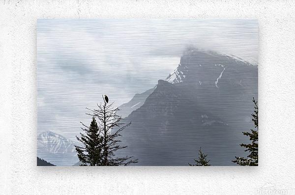 Bald Eagle In Banff National Park  Metal print