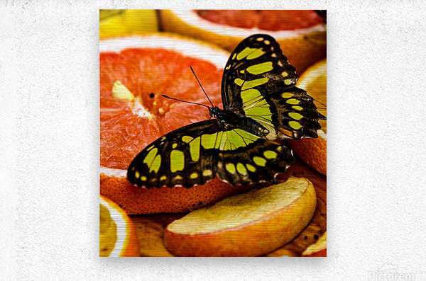 Butterfly And Oranges  Metal print