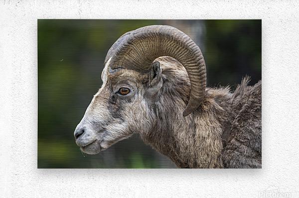 5513 - Big Horn Sheep  Banff National Park Canada  Metal print