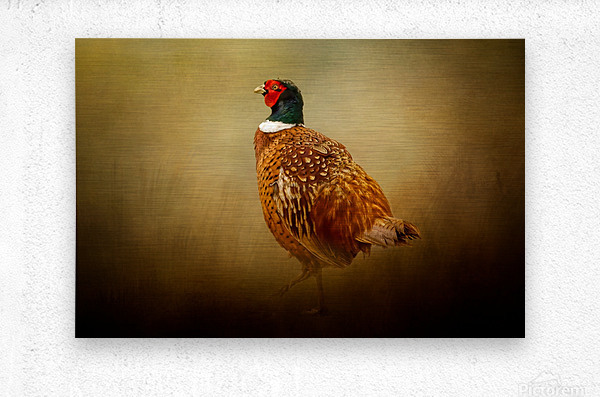 Ring Necked Pheasant  Metal print