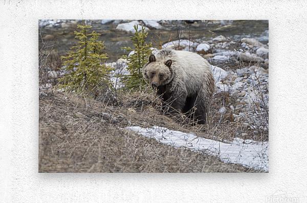 6944 - Grizzly Bear  Metal print