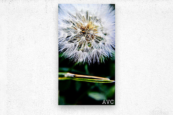 Dandelion Fluff  Metal print