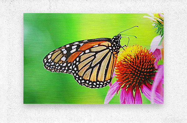 The Beauty Of The Monarch Butterfly  Metal print
