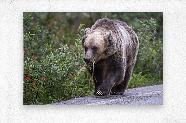 0037 - Grizzly Bear with Dandelions in Banff National Park Canada.  Metal print