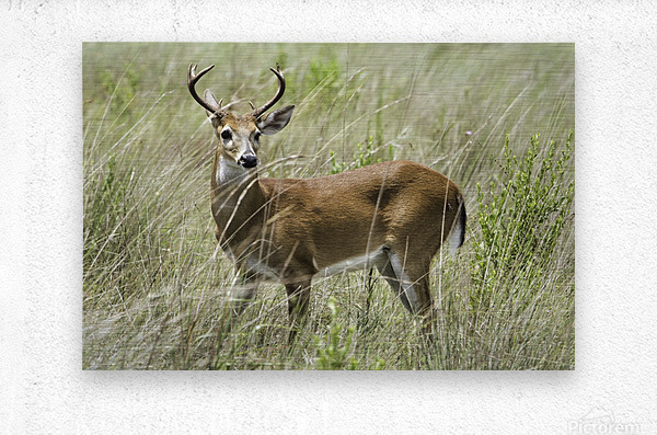 White Tailed Dear  Metal print