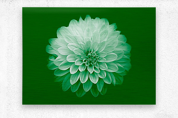 Dahlia on Green  Metal print
