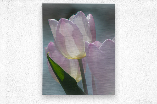 Pale Pink Tulips  Metal print