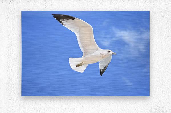 Seagull Overhead  Metal print