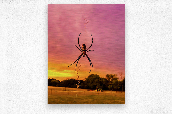 Banana Spider in Cat Spring TX  Metal print