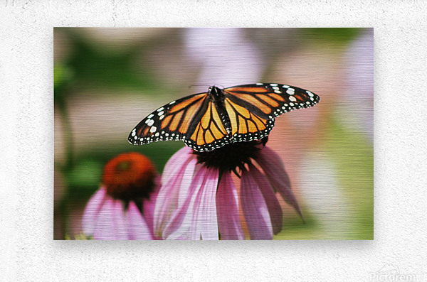 Closeup Butterfly on Cone Flower  Metal print