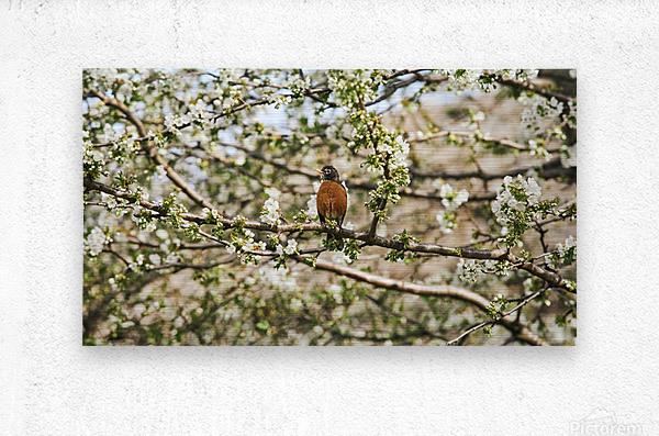 Robin Sitting on Branch  Metal print