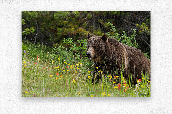 Grizzly Bear Sow 142  IMG_5130  Metal print