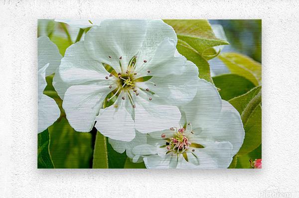 Pear Blossom - No. 1  Metal print